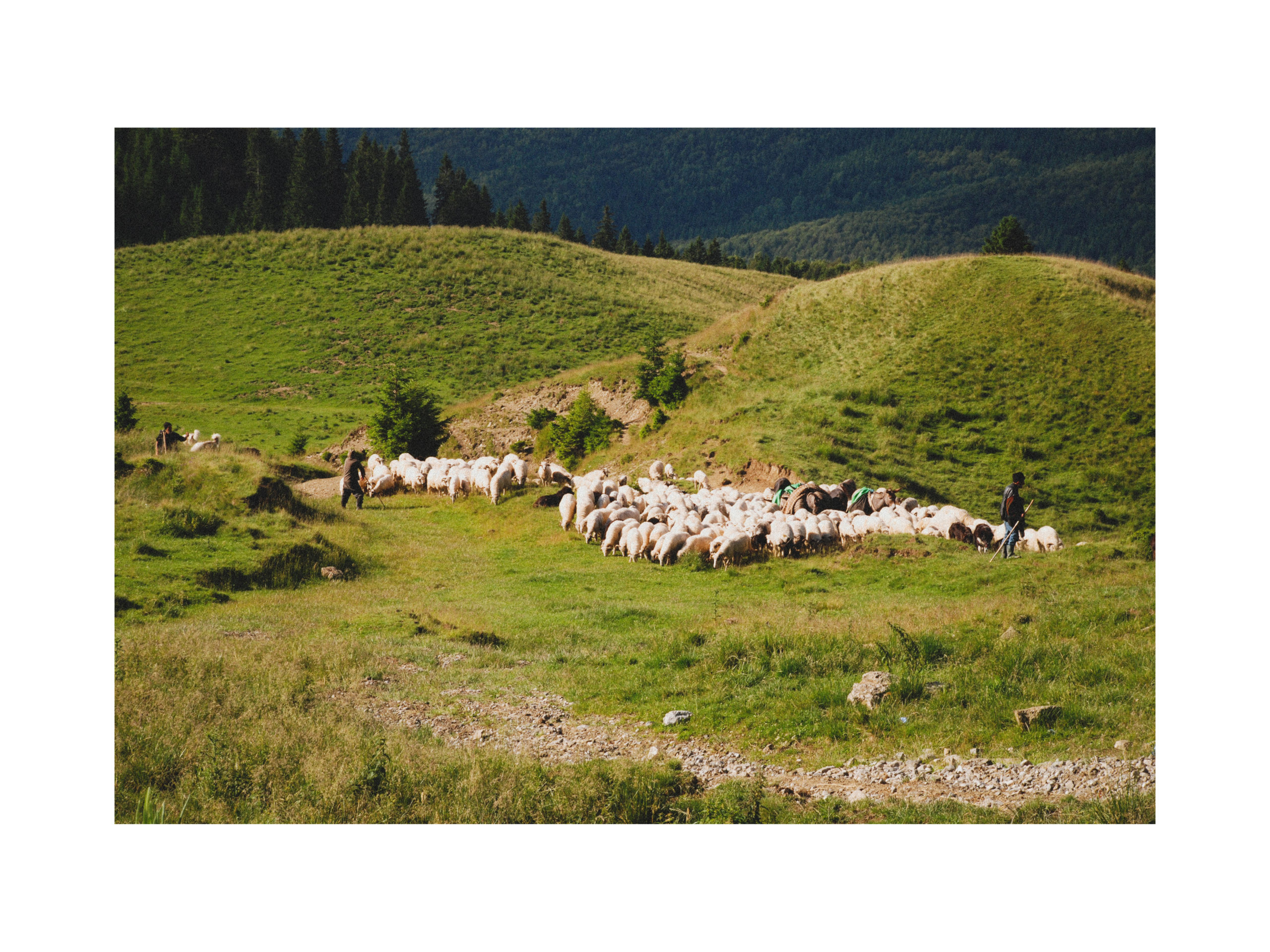 You are currently viewing Transhumanță /Transhumance